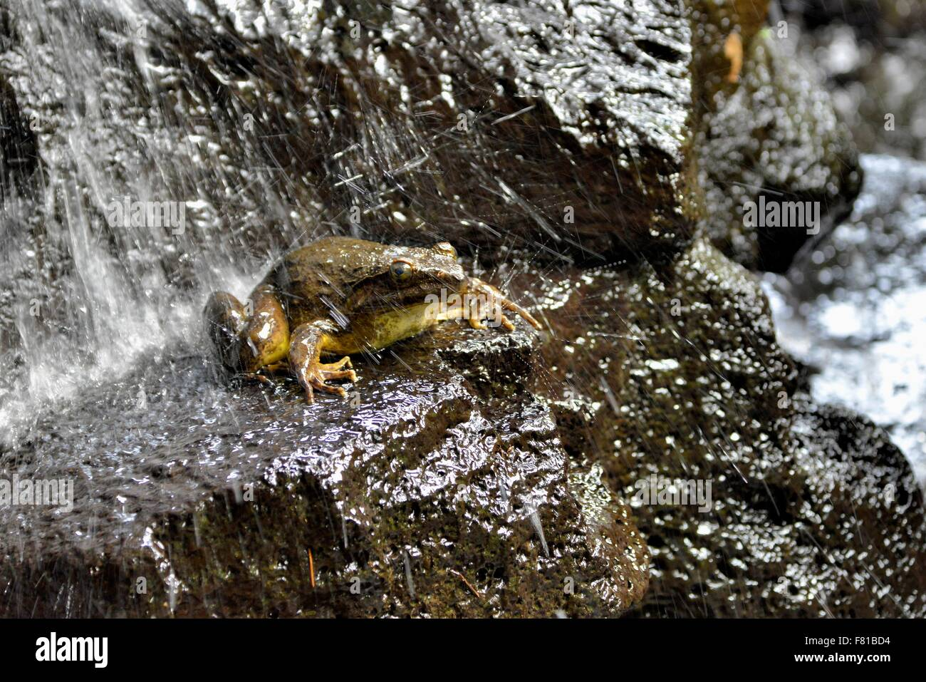 Goliath frog (Conraua goliath) under a waterfall, largest frog in the world, Mangamba in Nkongsamba, Littoral Province, - Stock Image