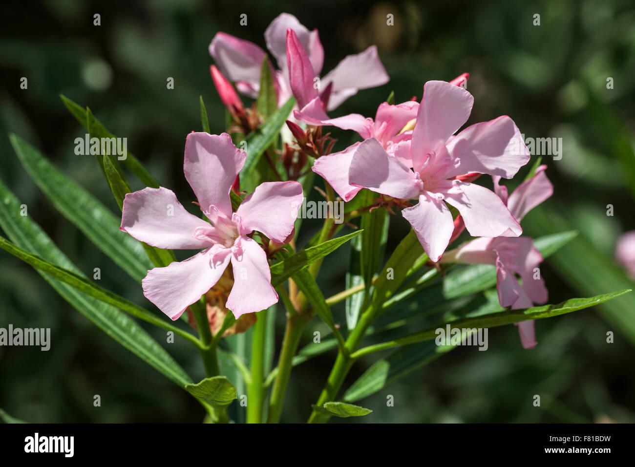 Oleander nerium oleander flower pink blossom germany stock photo oleander nerium oleander flower pink blossom germany mightylinksfo