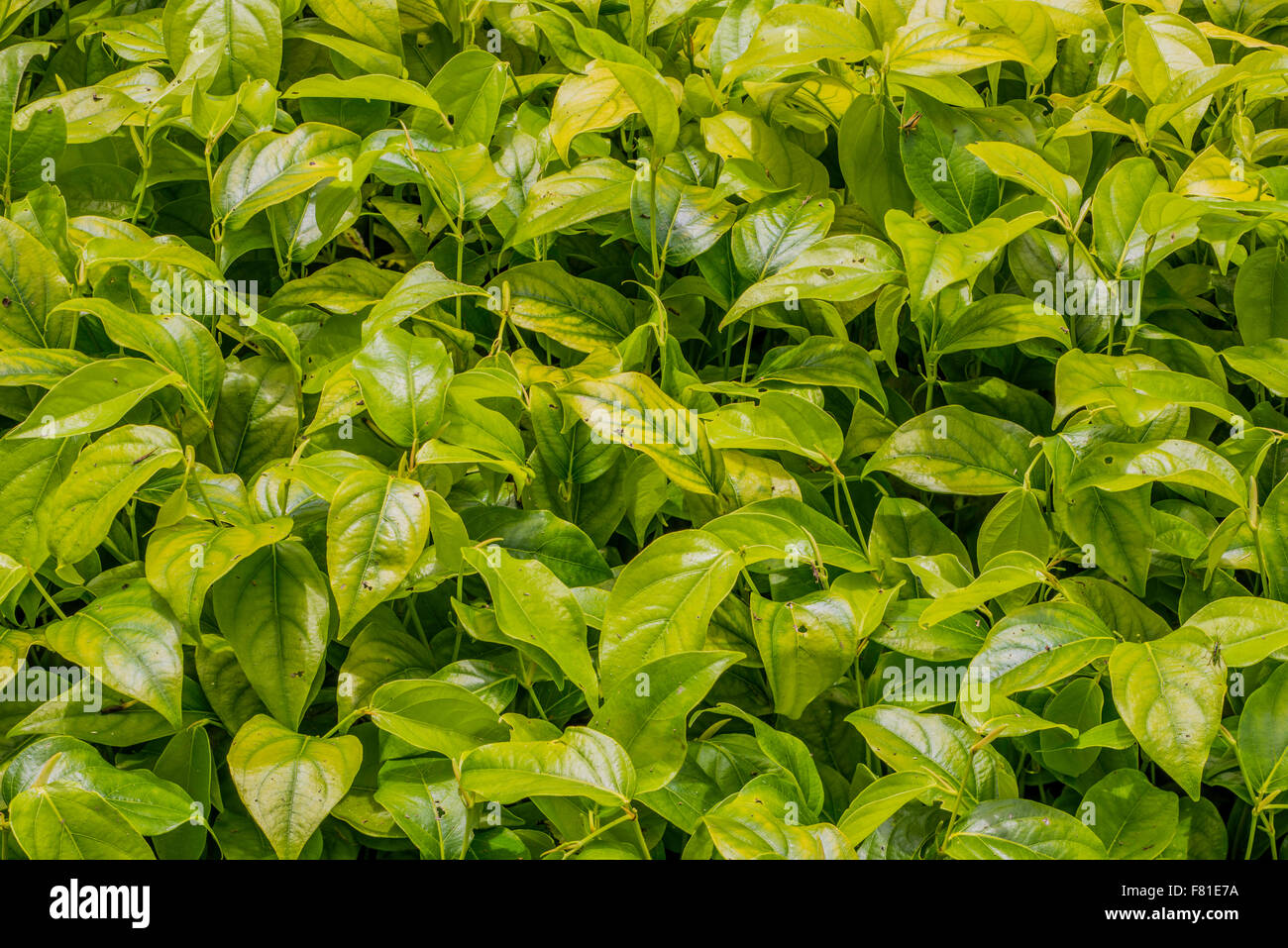 Piper Plant - Piper callosum - medicinal plant, used as both a mild stimulant and as a relaxant, and as an appetite - Stock Image