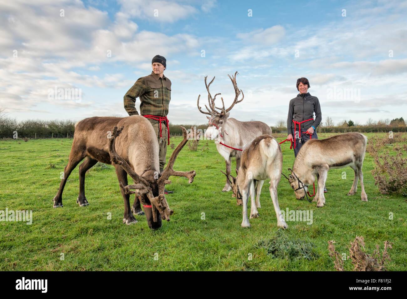Barton, Cambridgeshire, UK.  4th December 2015, Alex Smith and Leonie Palmer exercise reindeer at Bird's Farm, Barton - Stock Image