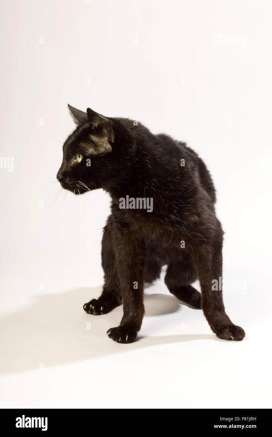 Very old black cat with white background. Arthrosis, degenerative osteoarthritis. - Stock Image
