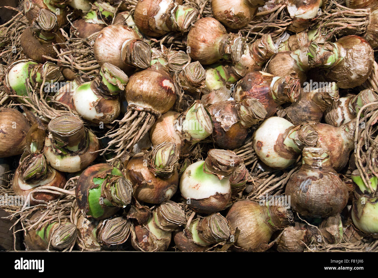 Background of brown flower bulbs Stock Photo