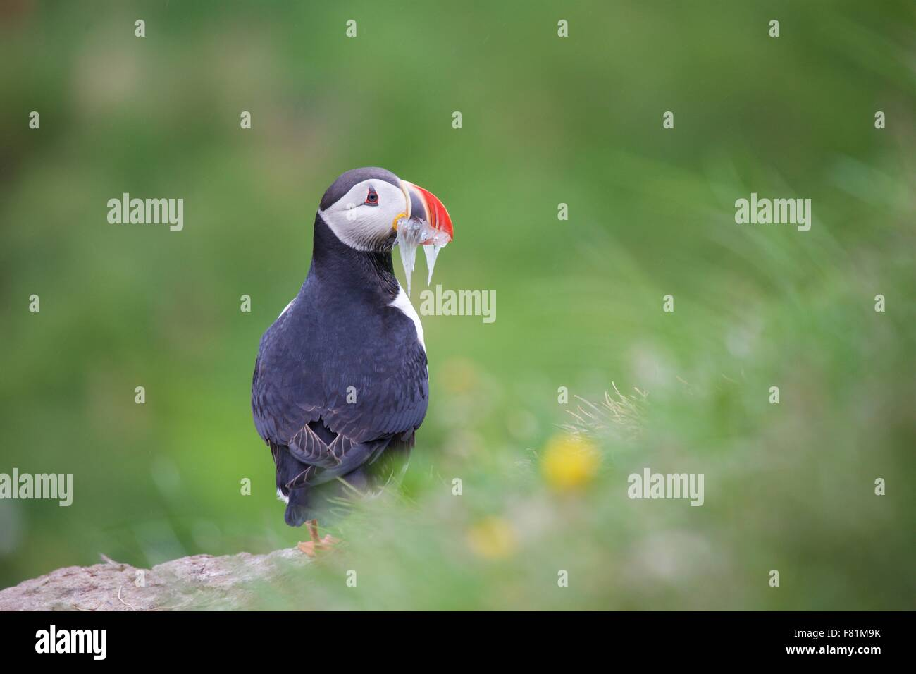 Atlantic puffin, puffins colony at Borgarfjordur in the East Fjords of Iceland - Stock Image