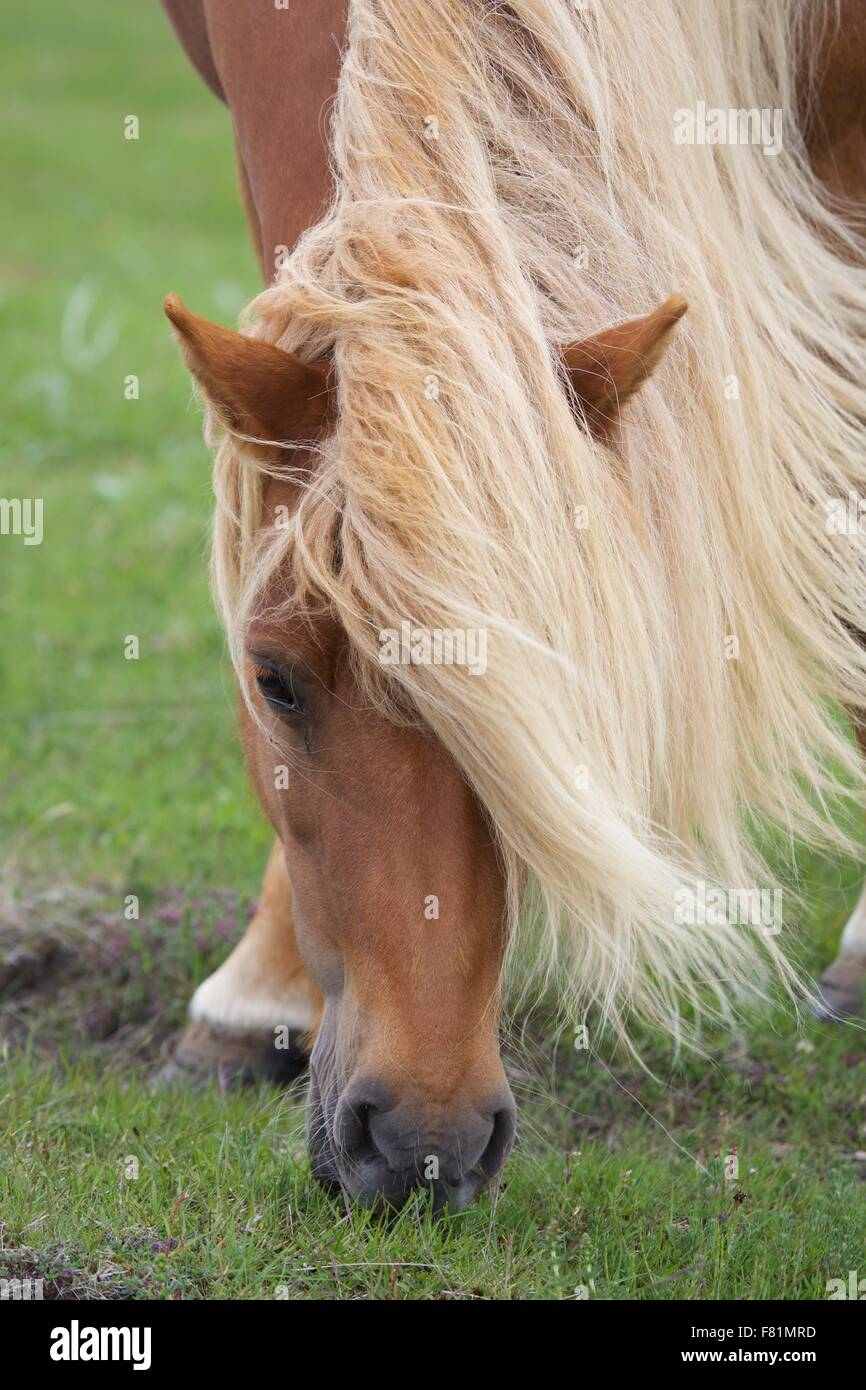 Icelandic ponies (horses) in the countryside in Iceland - Stock Image