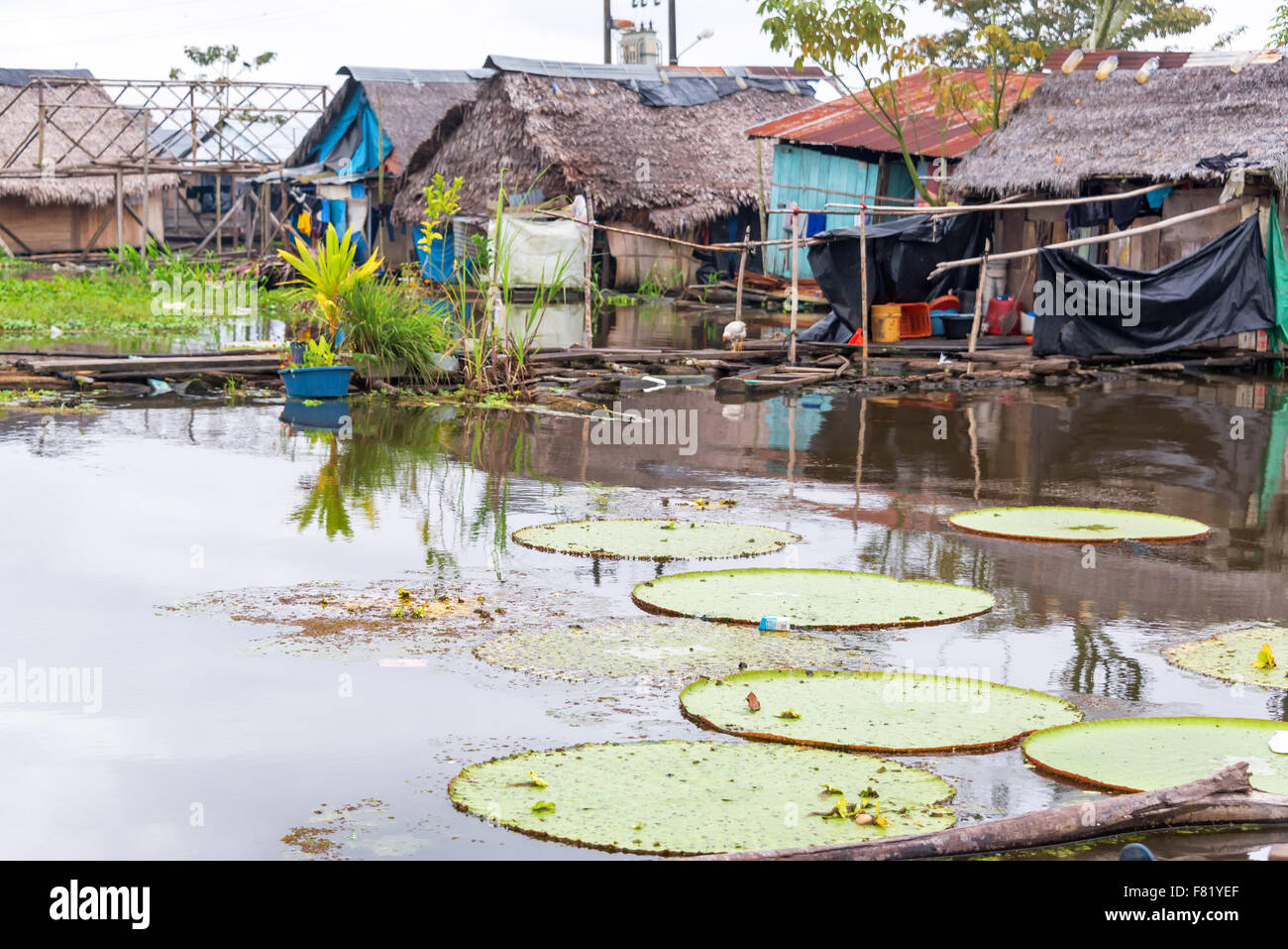 Victoria Amazonica, world's largest lily pad growing in a slum in Iquitos, Peru - Stock Image