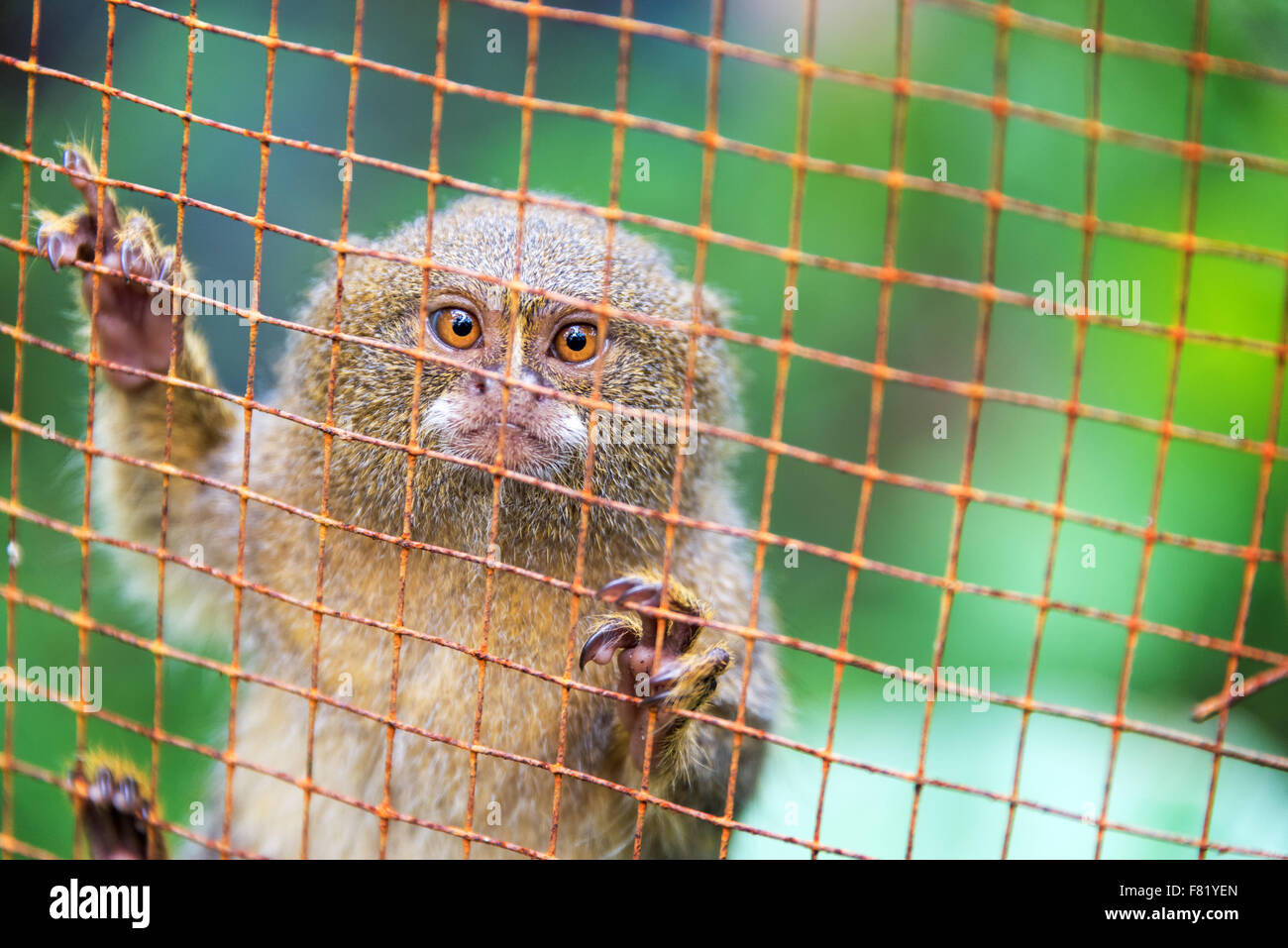 Pygmy monkey in a cage near Iquitos, Peru.  The pygmy monkey is the smallest monkey in the world. - Stock Image