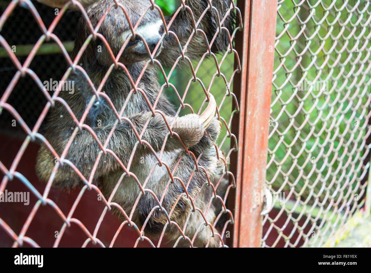 View of a three toed sloth in a cage near Iquitos, Peru - Stock Image