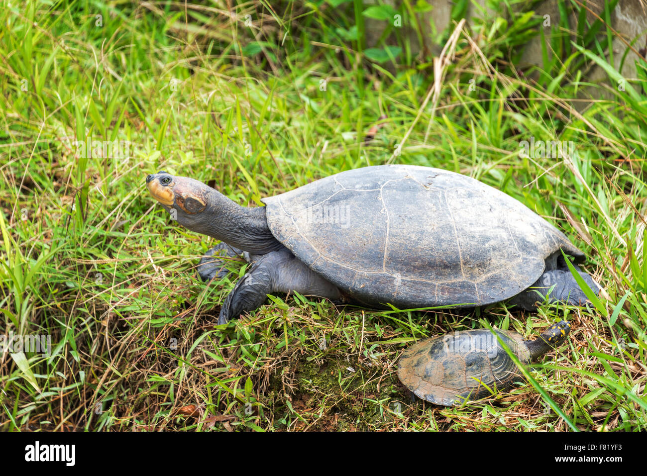 Yellow spotted Amazon river turtle in Iquitos, Peru - Stock Image