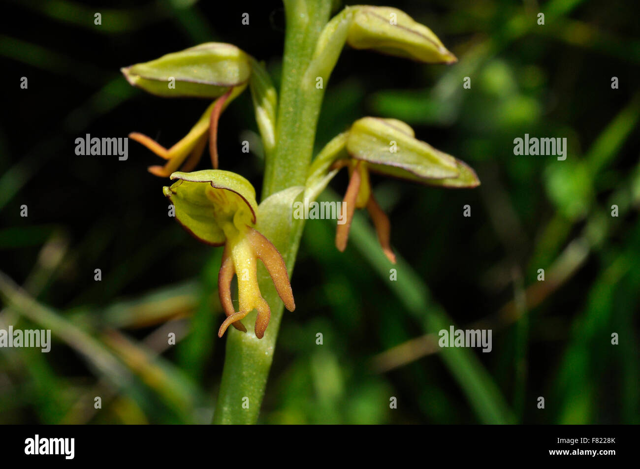 Man Orchid,Orchis anthropophora,close up, endangered, Flowers yellow green, Wiltshire,UK - Stock Image