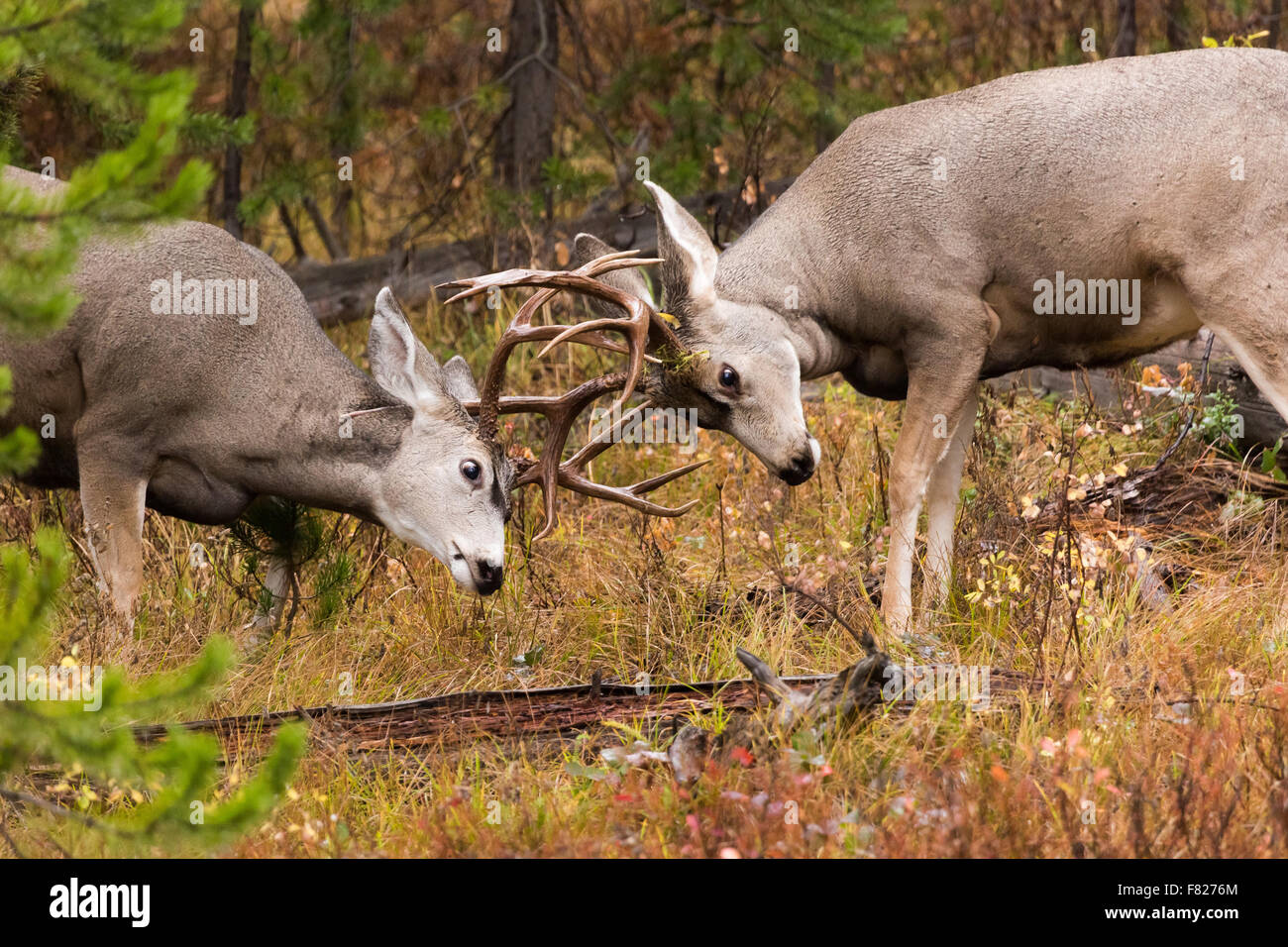 Mule deer bucks sparring on Signal Mountain, Grand Teton National Park, Wyoming - Stock Image