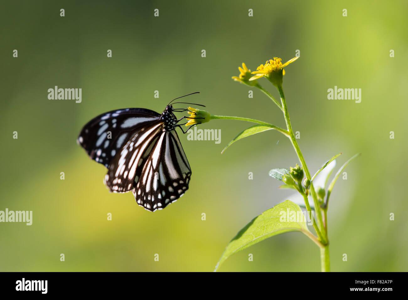 Common Mime (Papilio clytia) feeding on a flower - Stock Image