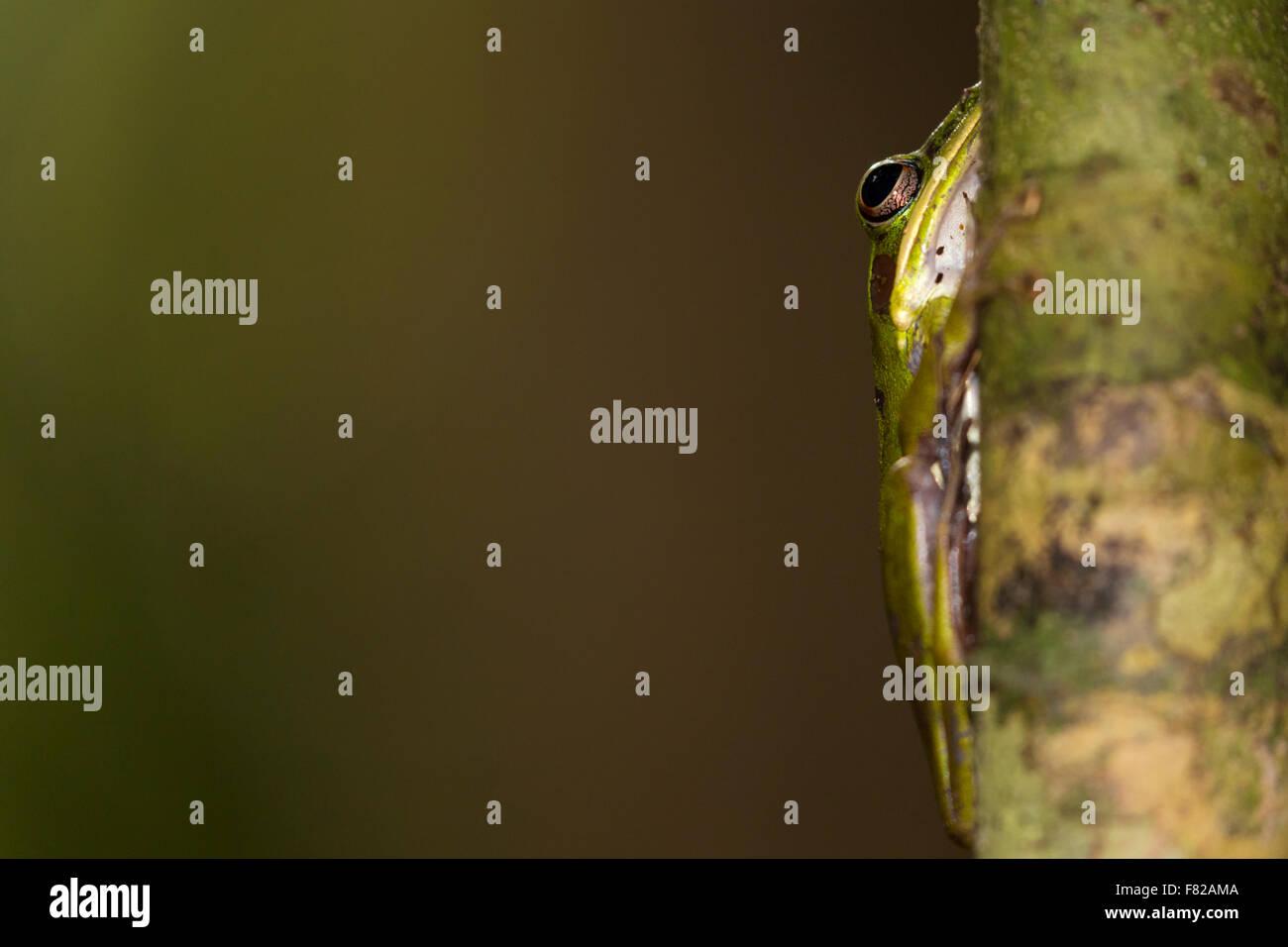 Copper cheeked frog (Hylarana raniceps) - Stock Image