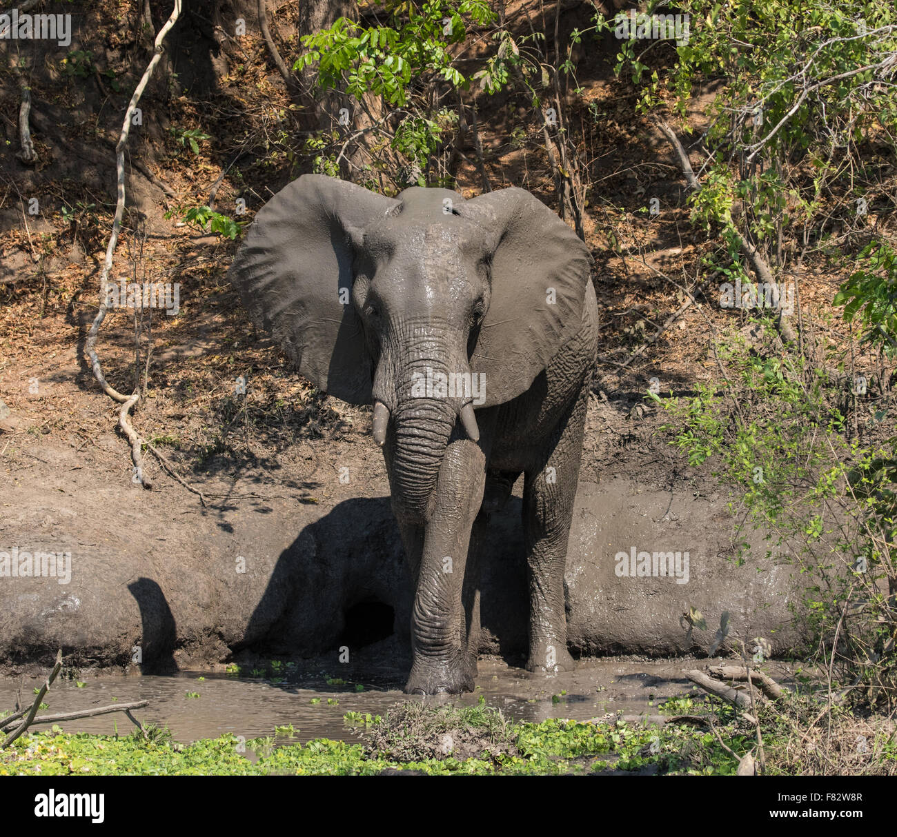 An elephant standing in a waterhole taking a mud bath Stock Photo