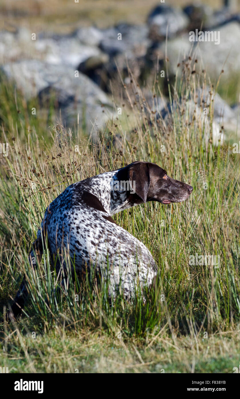Image of: Mythical Creature English Pointer Dogcairngorms National Parkhighlandsscotland Alamy English Pointer Dogcairngorms National Parkhighlandsscotland