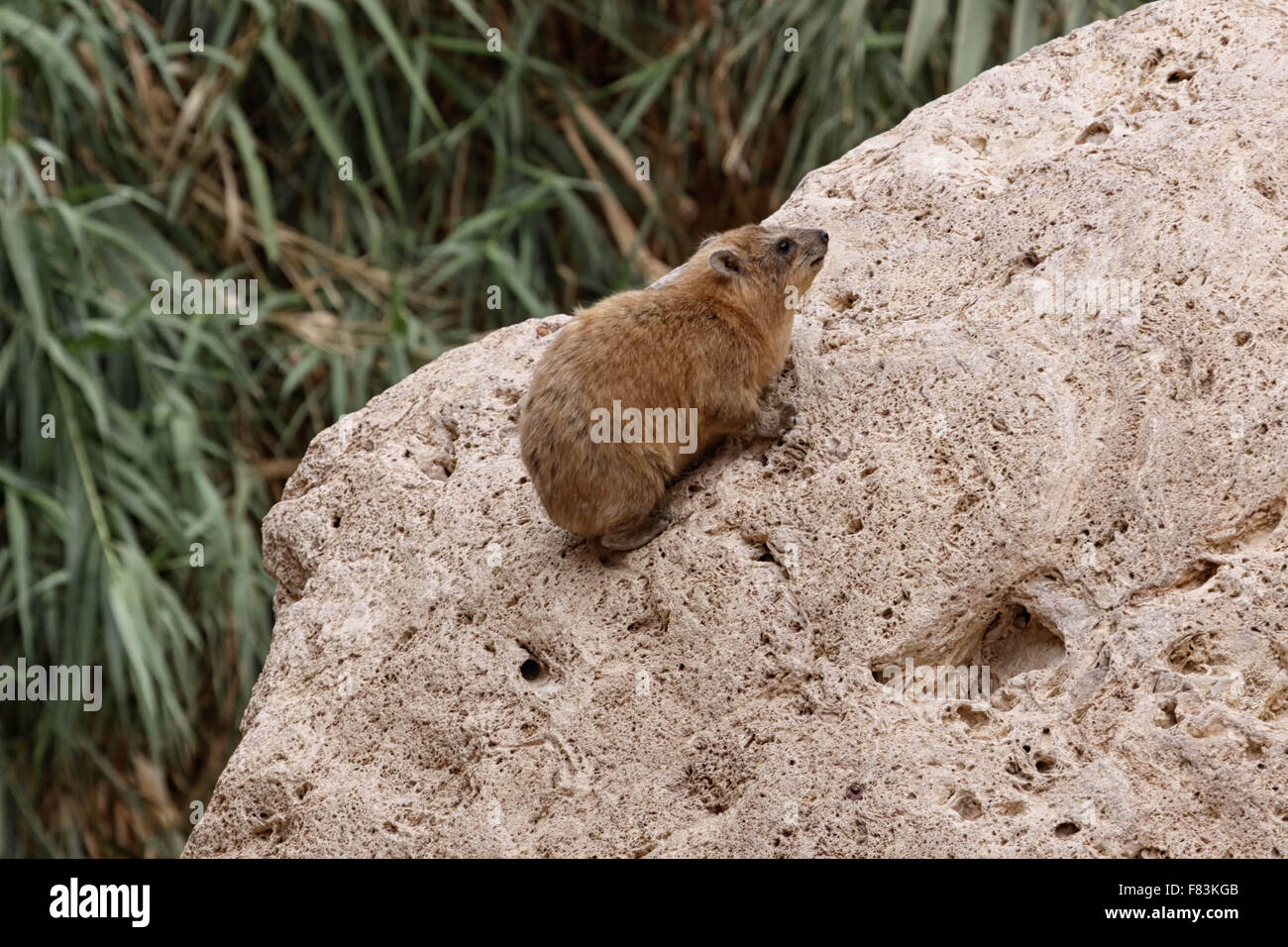 Hyrax This rodent looking animal lives in Ein Gedi in Israel - Stock Image