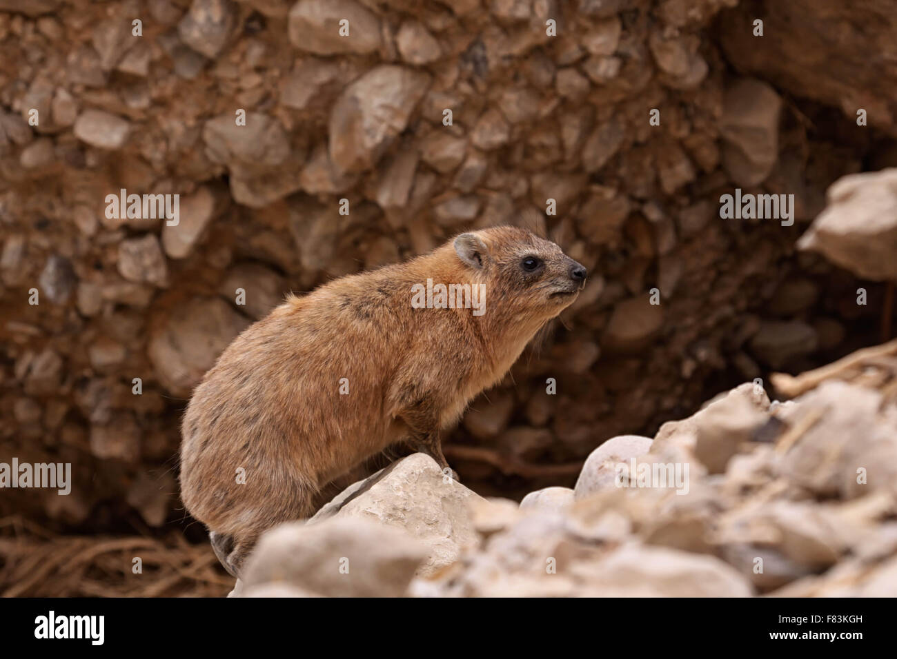 Hyrax This rodent looking animal lives in Ein Gedi in Israel. - Stock Image