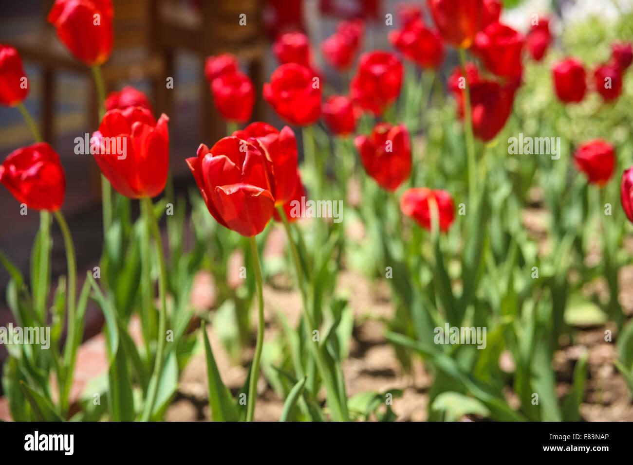 Spring flowers tullips on the big clumb stock photo 91051710 alamy spring flowers tullips on the big clumb mightylinksfo