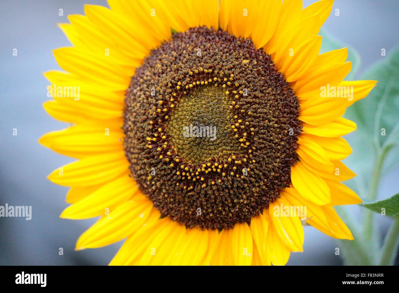 Sonnenblume - Impressionen: spaetsommerlicher Garten, Berlin. - Stock Image