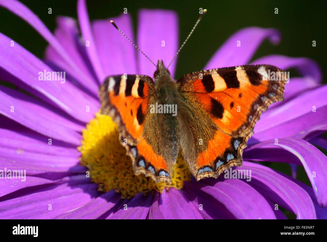 Blume, Schmetterling - Impressionen: spaetsommerlicher Garten, Berlin. - Stock Image