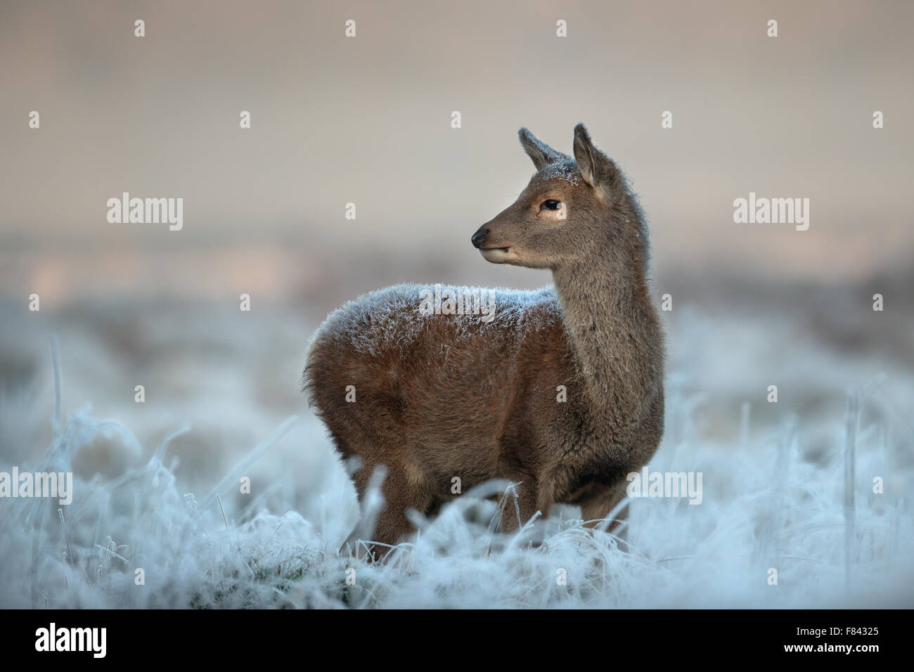 Red deer calf in winter - Stock Image