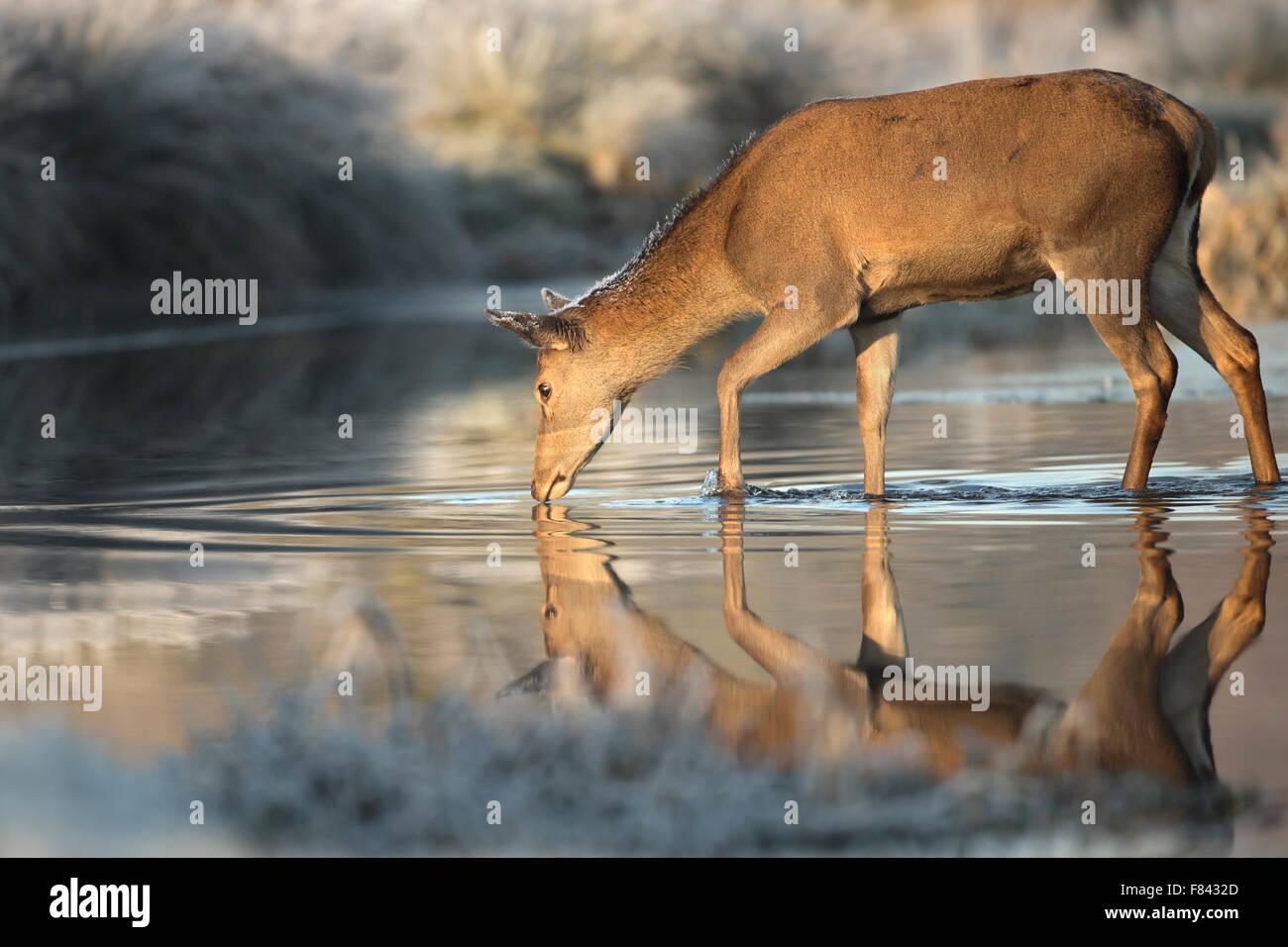 Red deer hind drinking water - Stock Image