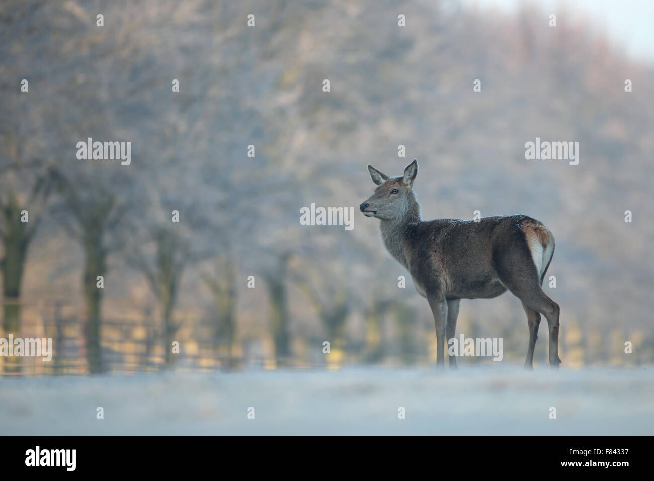 Red deer hind in winter time - Stock Image