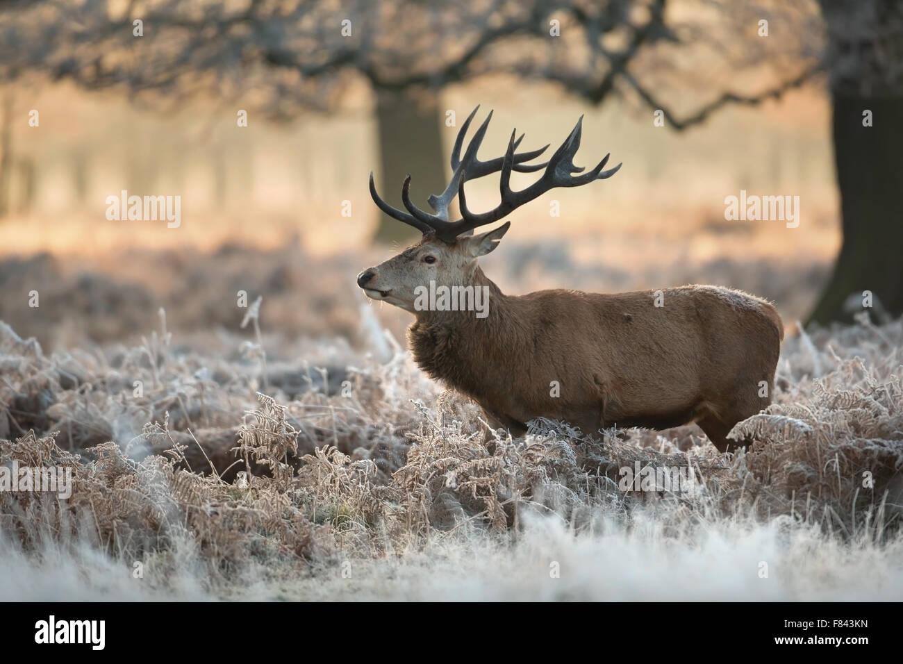 Red deer in winter, UK. - Stock Image