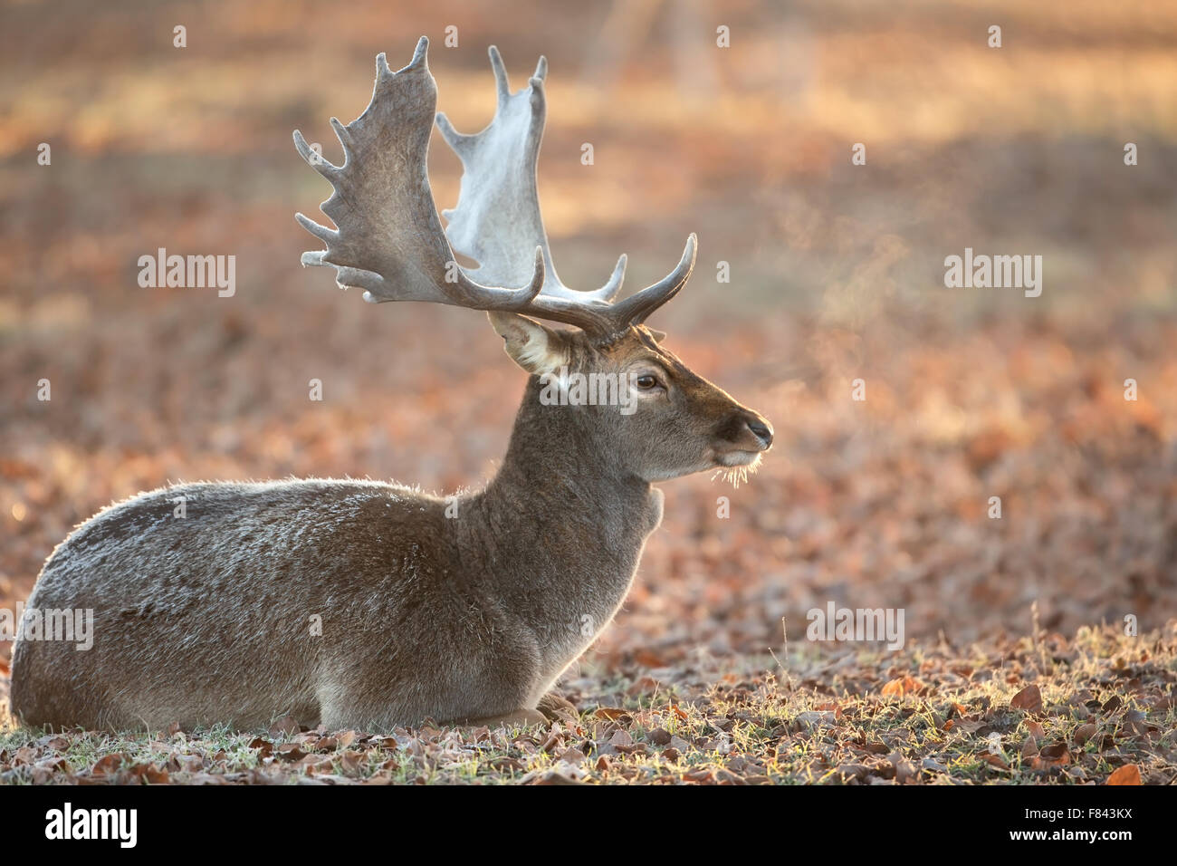 Fallow deer in late autumn - Stock Image