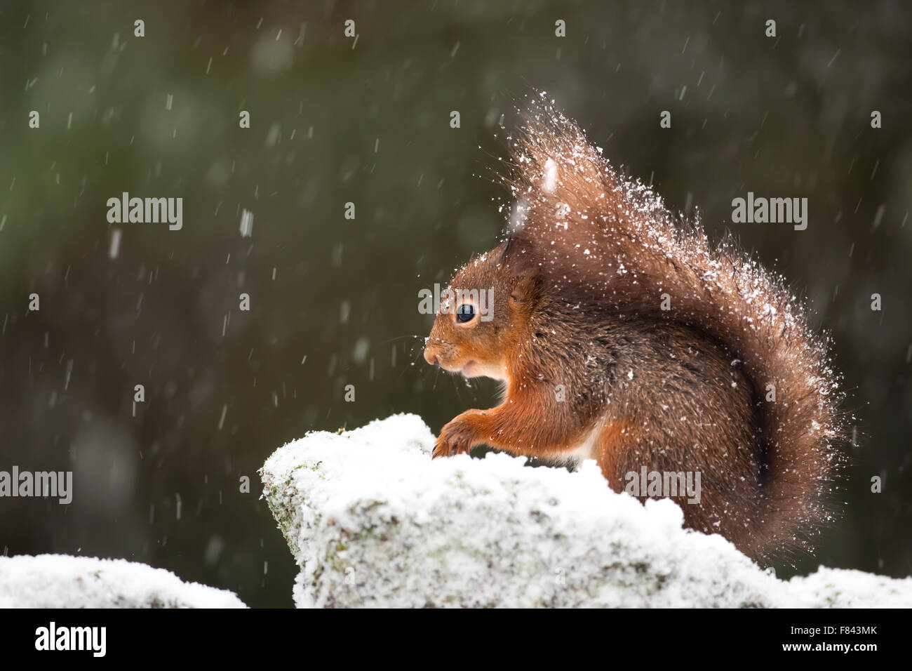 Cute red squirrel in the falling snow, winter in England - Stock Image