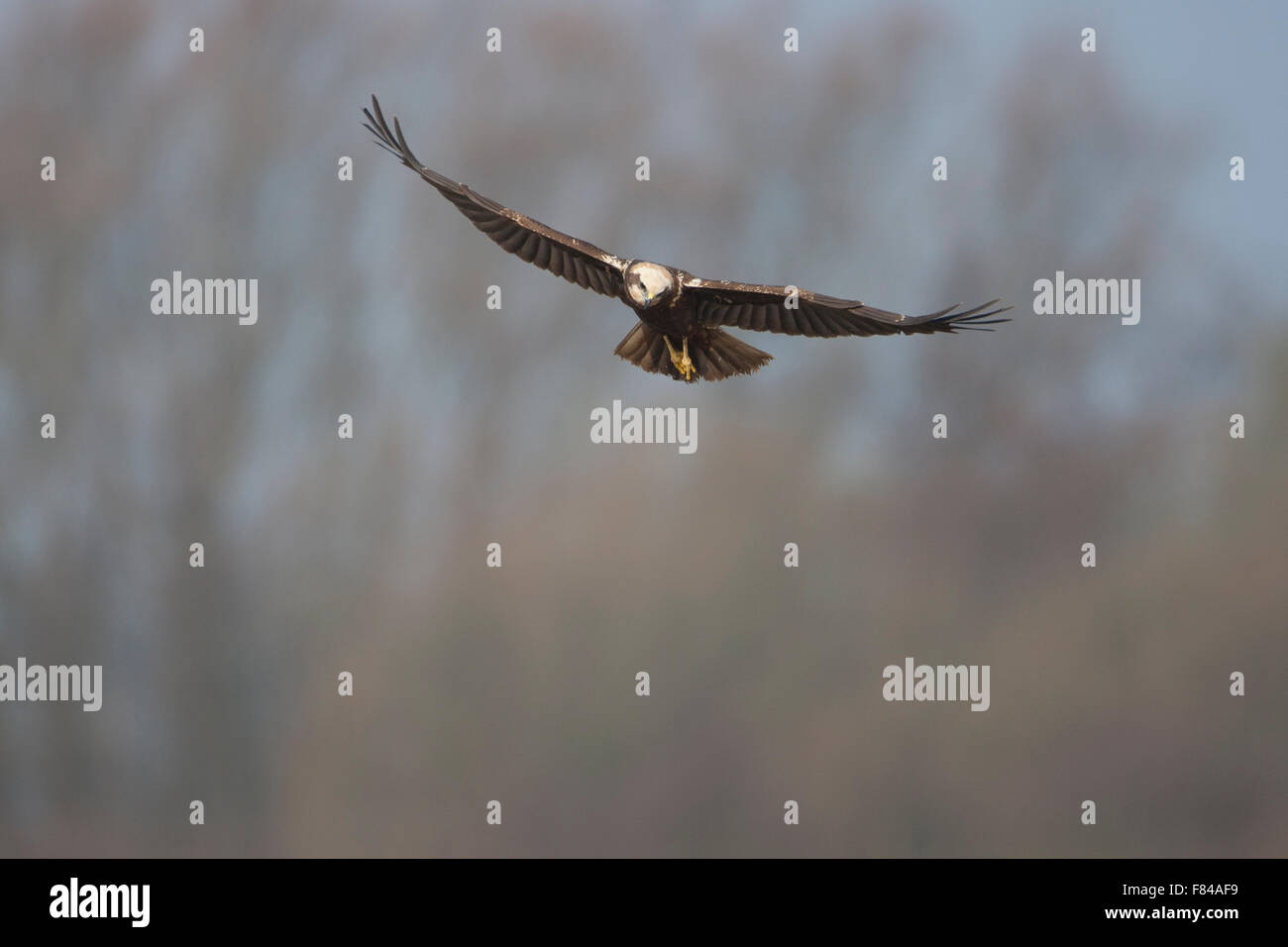 female Marsh Harrier in flight head on Stock Photo