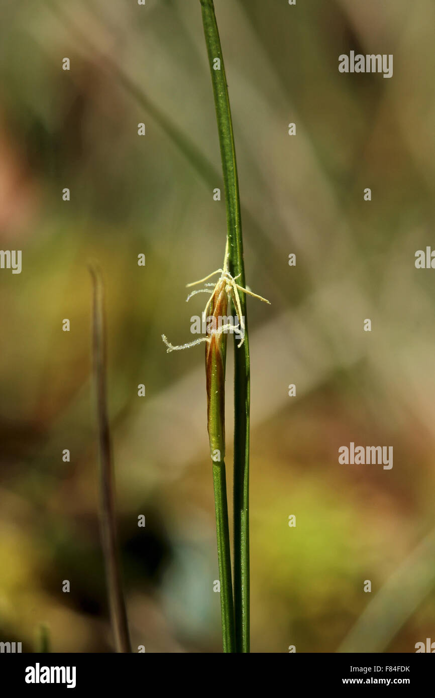 Inflorescence of few-flowered sedge (Carex pauciflora) growing in Tremanskärr protected area in Espoo, Finland - Stock Image