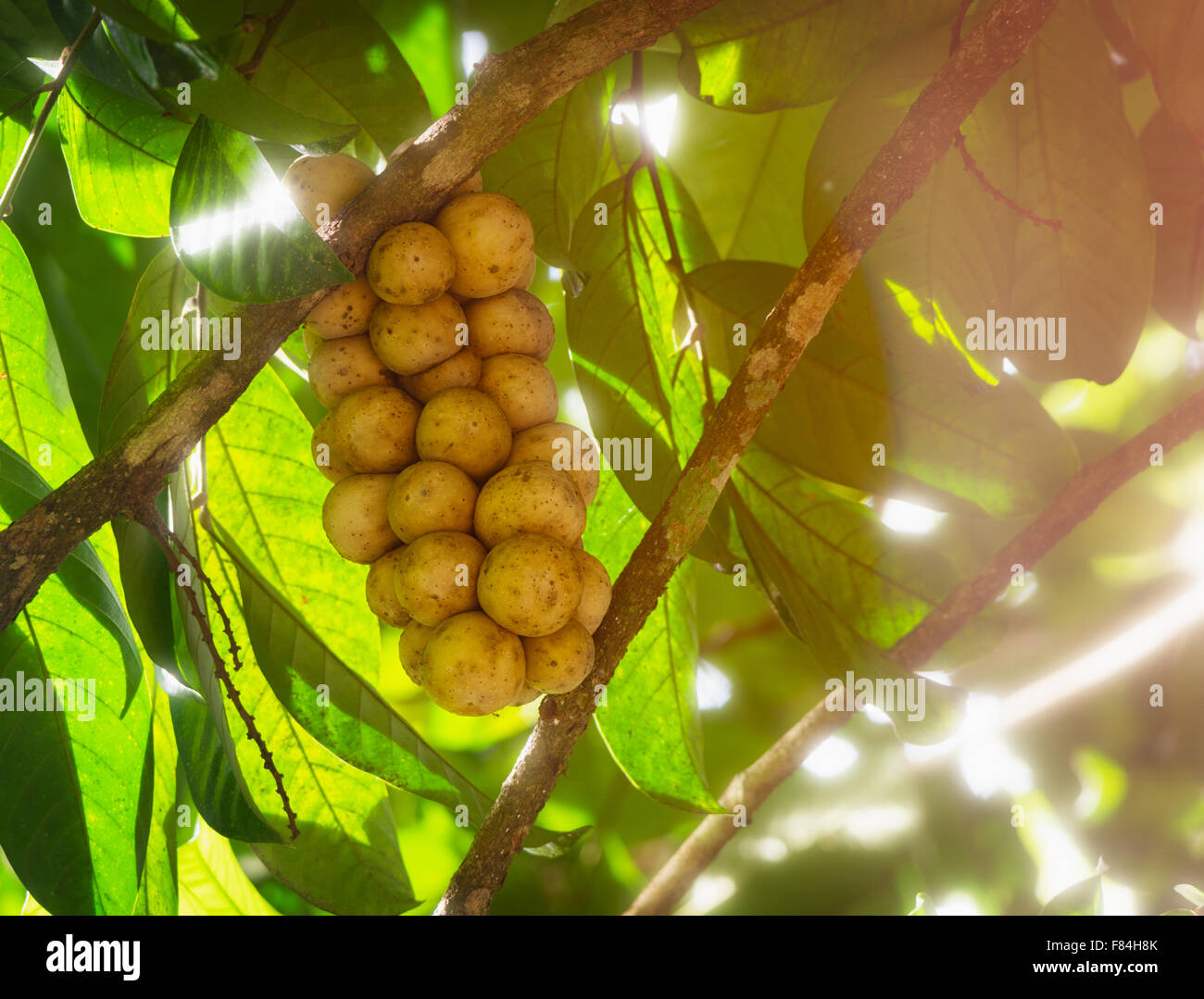 Longkong fruit from Thailand. A delicious sweet tasting fruit hanging from a tree branch. - Stock Image