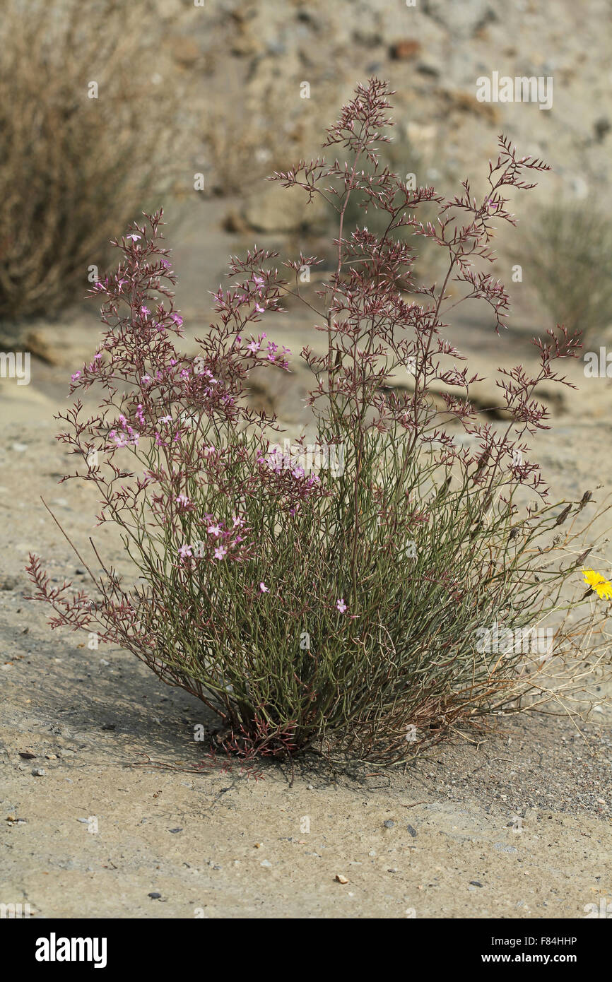 Limonium insigne flowering in Tabernas desert (Almeria, Spain) - Stock Image