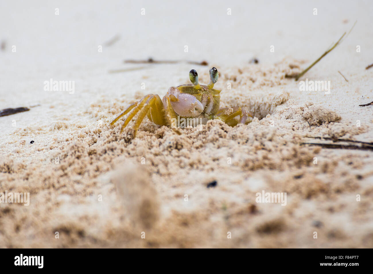 Sand crab on the Cayo's - Stock Image