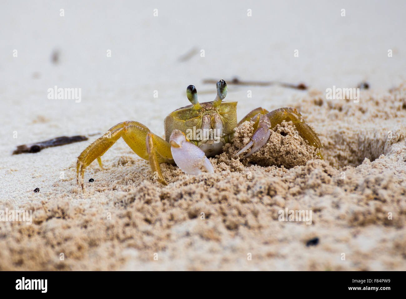 Sand crab showing it's claws - Stock Image