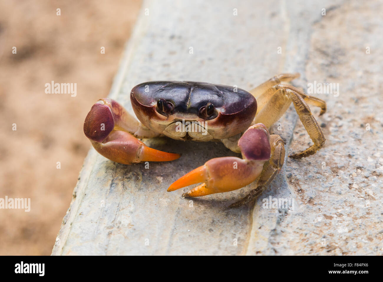 Colourful crab missing three legs - Stock Image