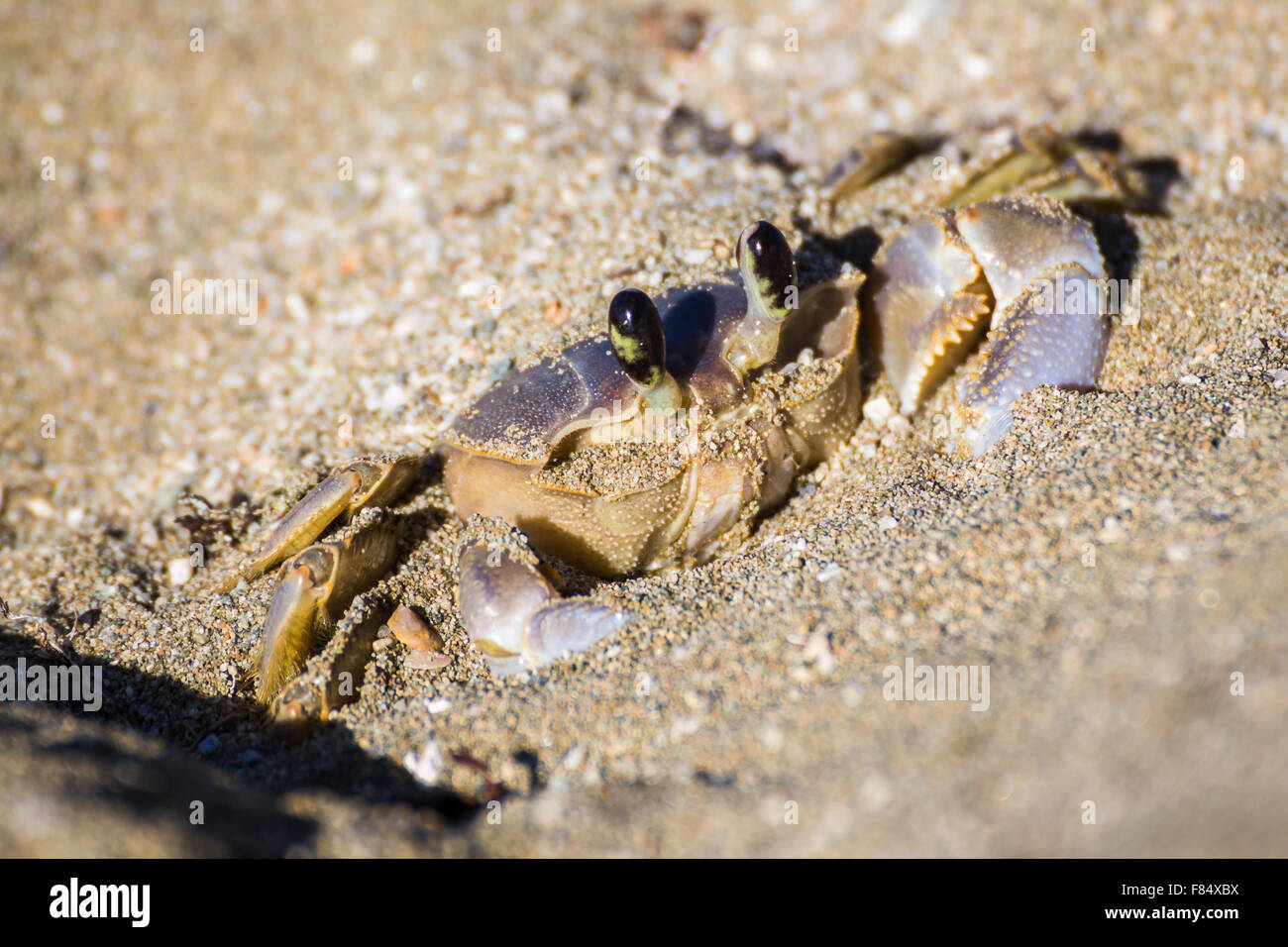 A fully grown sand crab pauses in the sand as he waits for a threat to disappear. - Stock Image