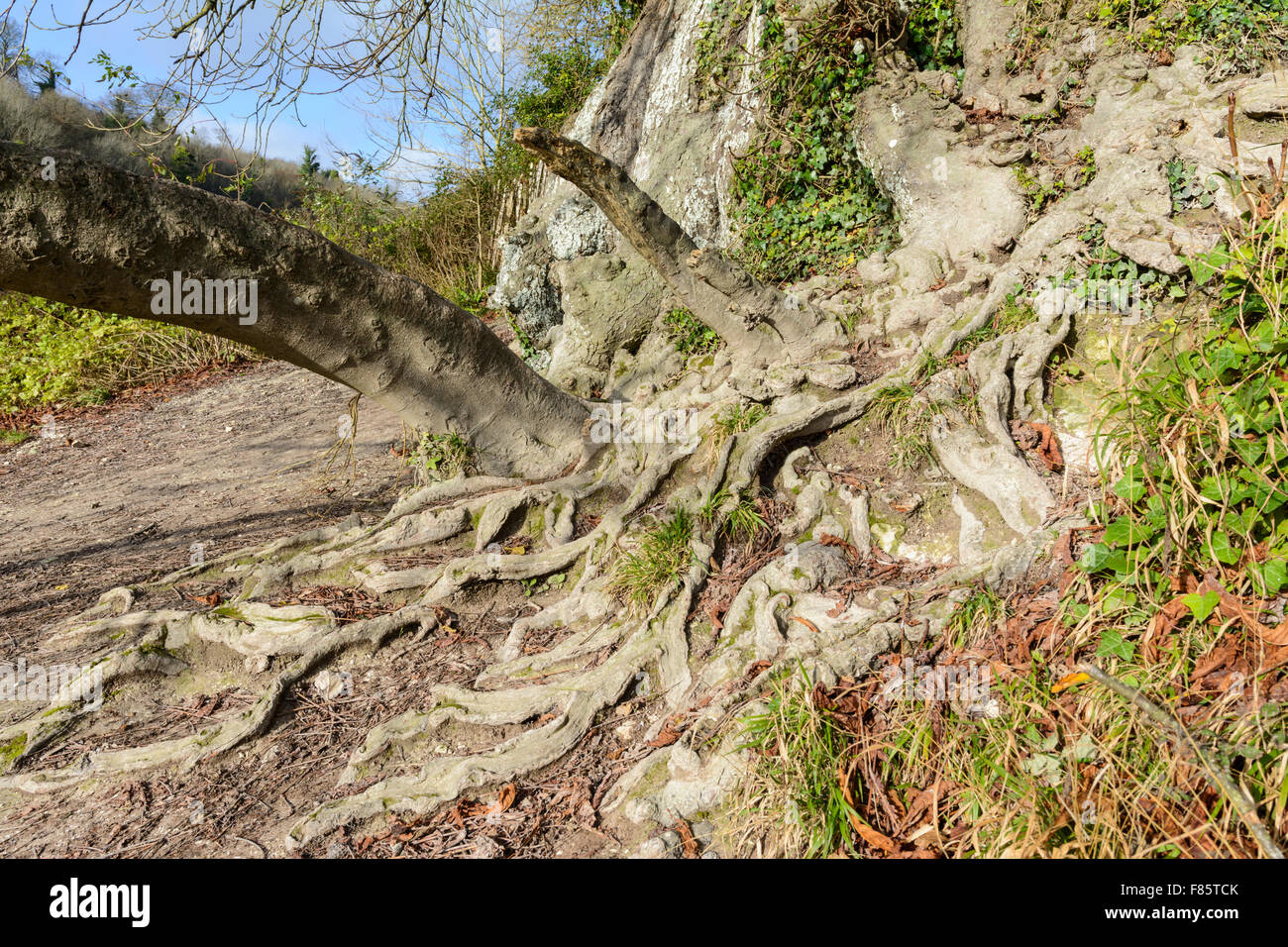 Tree roots exposed and growing over the ground. - Stock Image