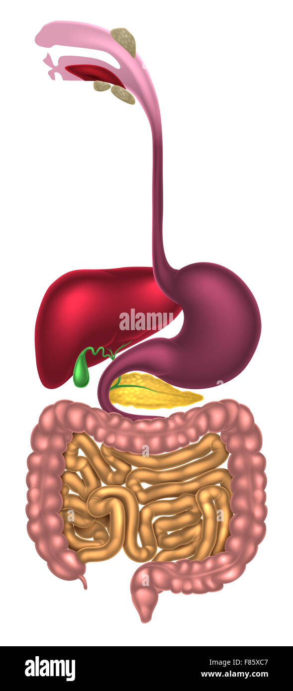Human Digestive System Digestive Tract Or Alimentary Canal