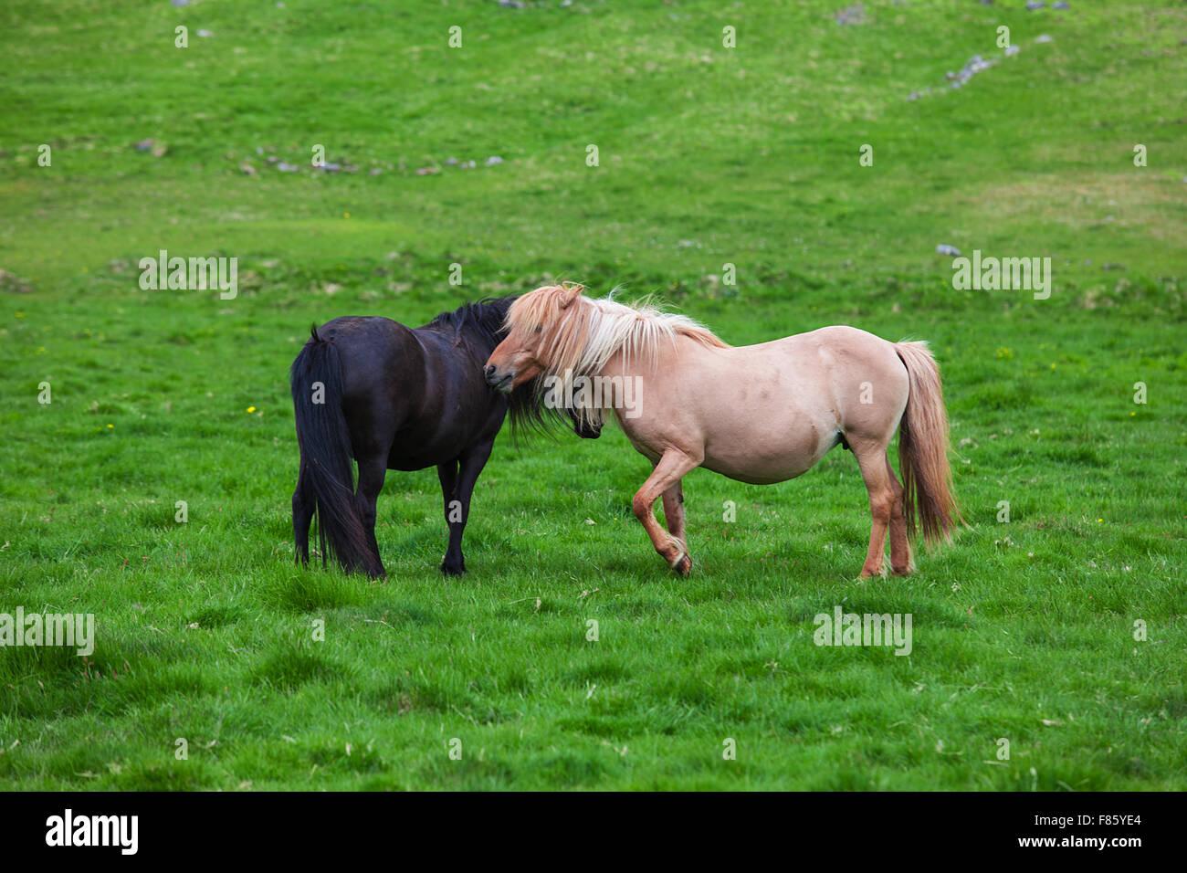 A lovely couple of Icelandic Horses - Stock Image