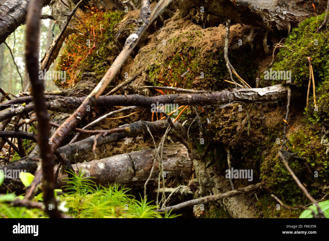 tree root toppled over Stock Photo