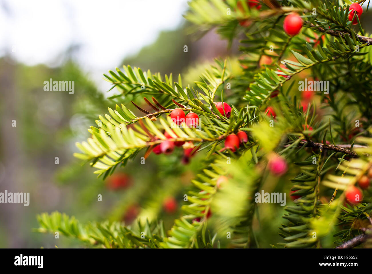 Branches of conifers - Stock Image