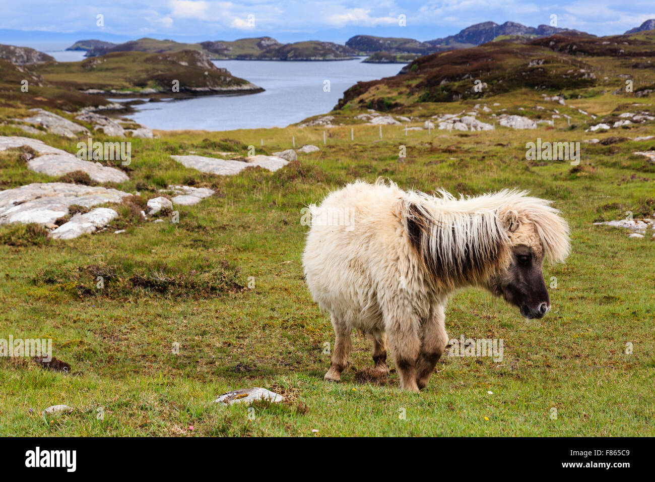 Wild pony with a shaggy coat on coastal grassland. Loch Sgioport South Uist Outer Hebrides Western Isles Scotland - Stock Image