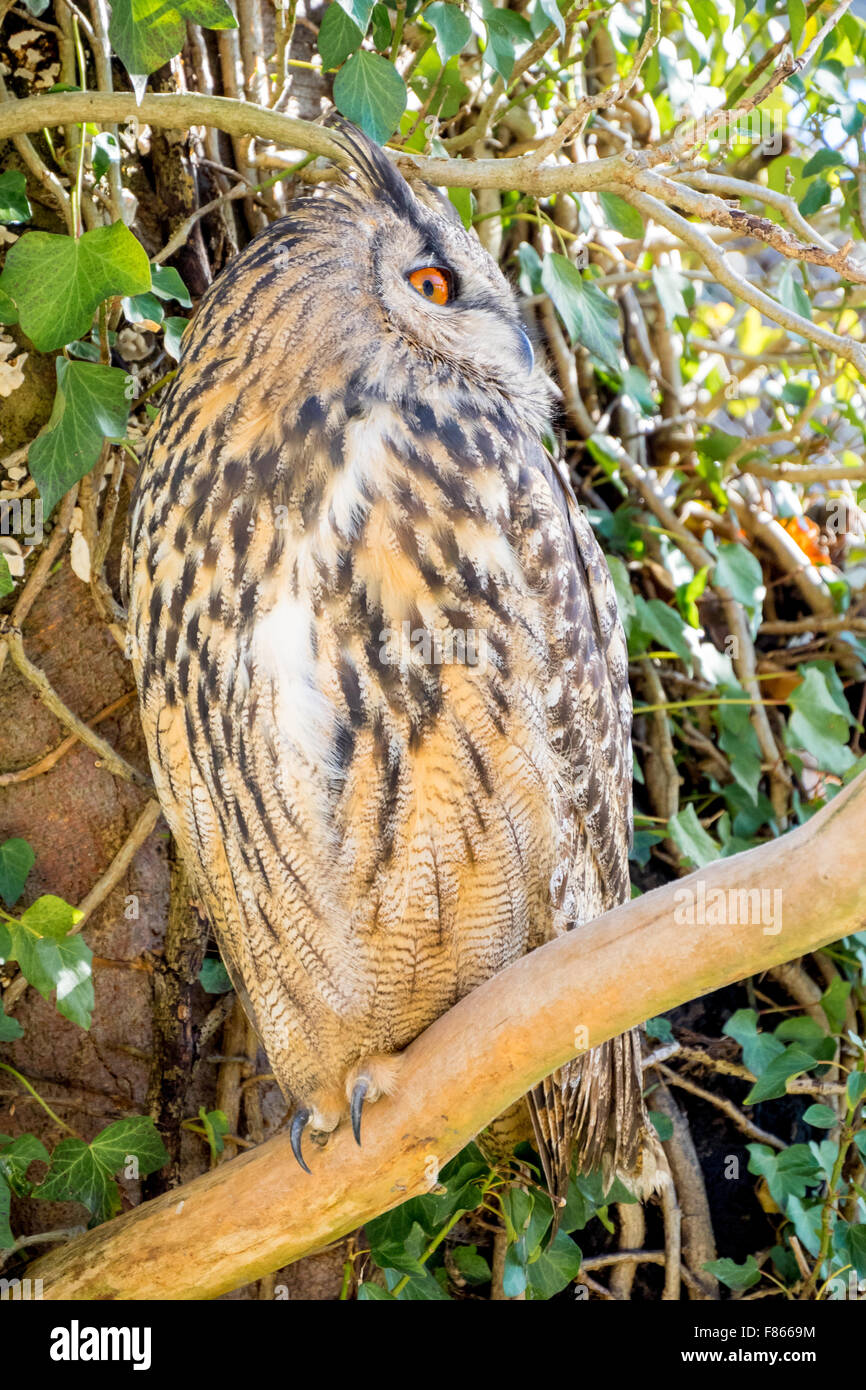 Male adult example of bubo bubo, best known as eagle owl, standing on tree's branch - Stock Image