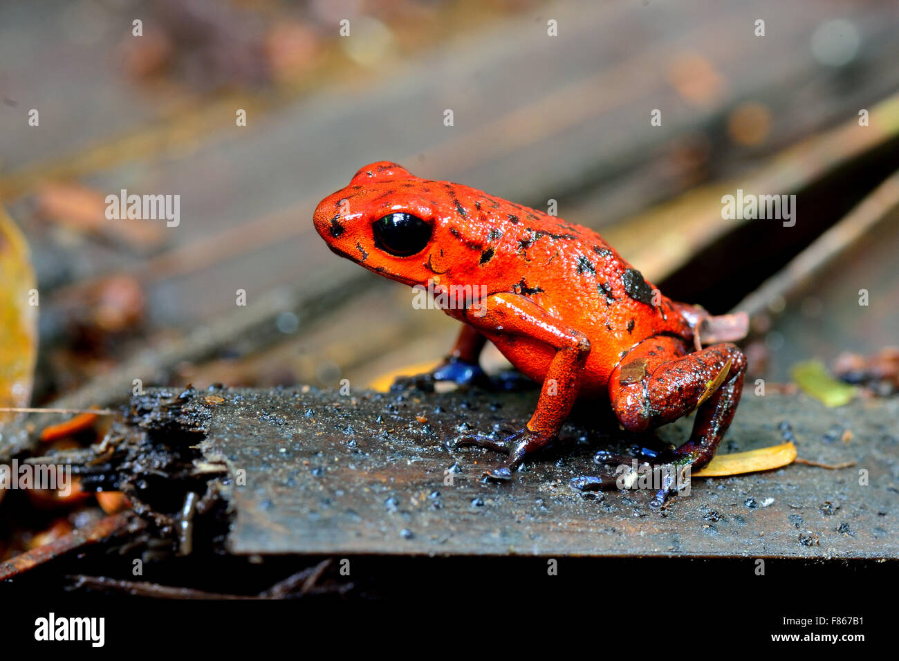 Dendobrates pumilio or Blue Jeans Dart Frog in Costa Rica's tropical rain forest - Stock Image