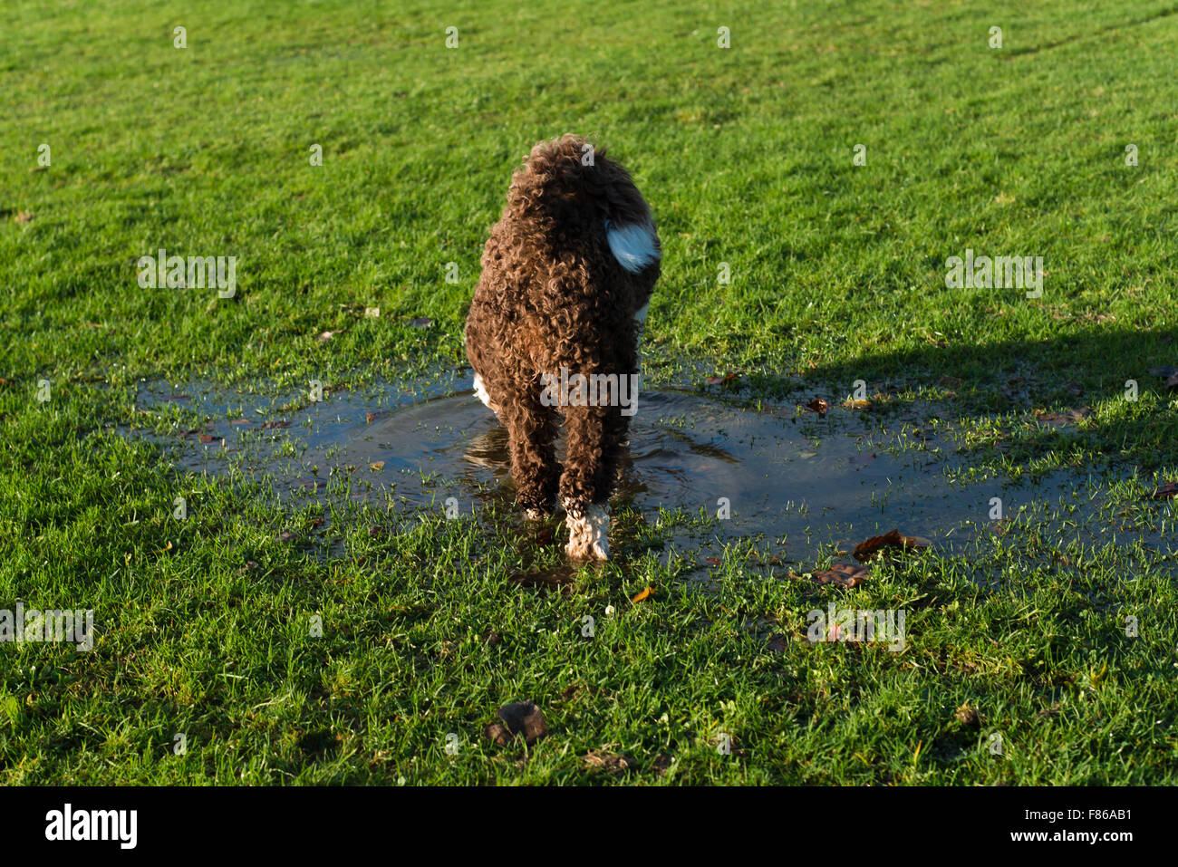 Spanish water dog playing in water puddle Stock Photo