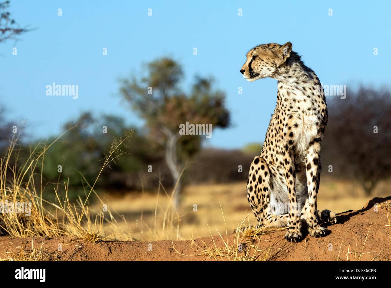 Cheetah (Acinonyx jubatus) [CAPTIVE] - Africat Rehabilitation Sanctuary, Okonjima, Namibia, Africa - Stock Image