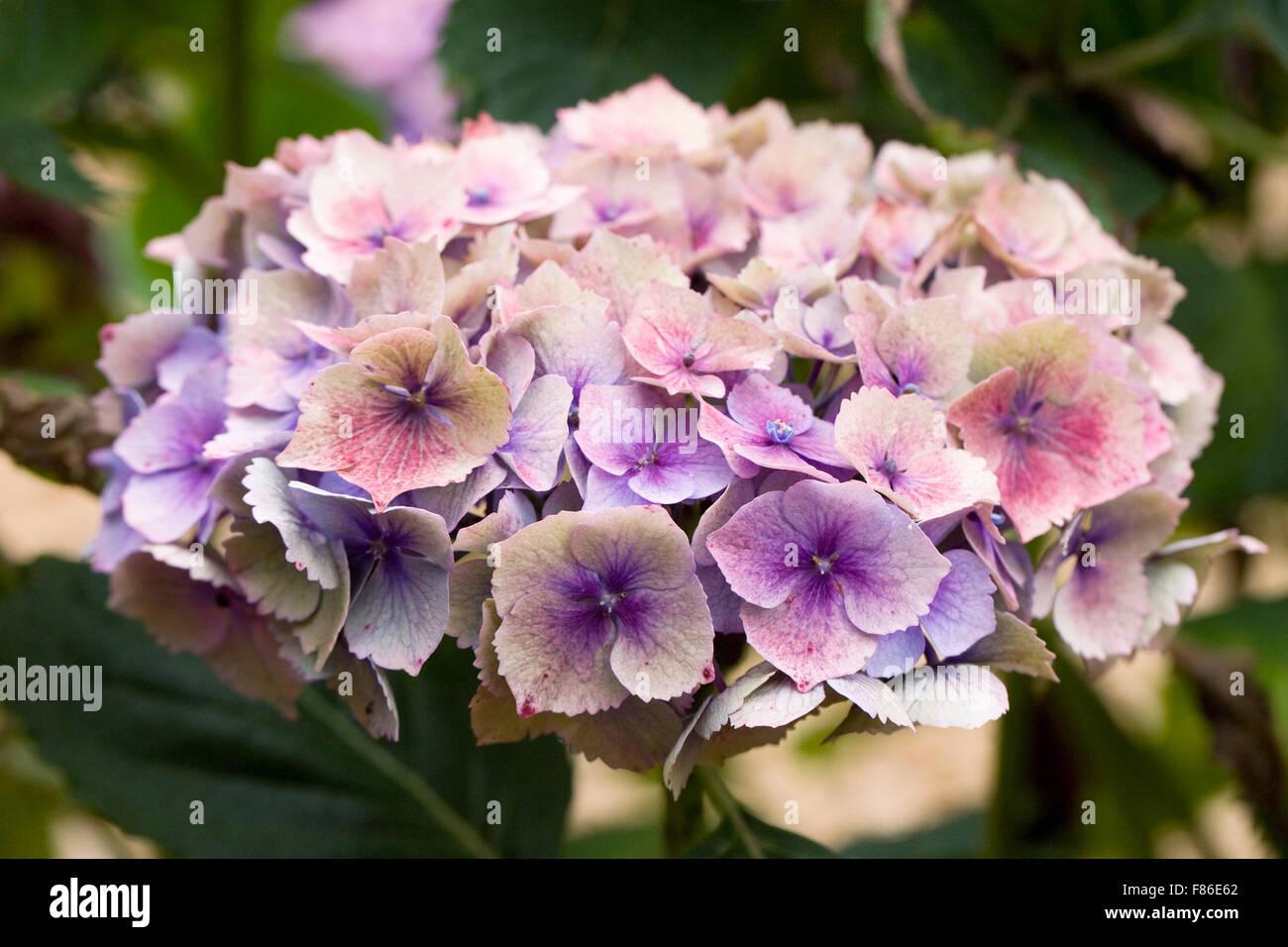 Hydrangea macrophylla Hamburg 'Raham' flowers in late summer. - Stock Image