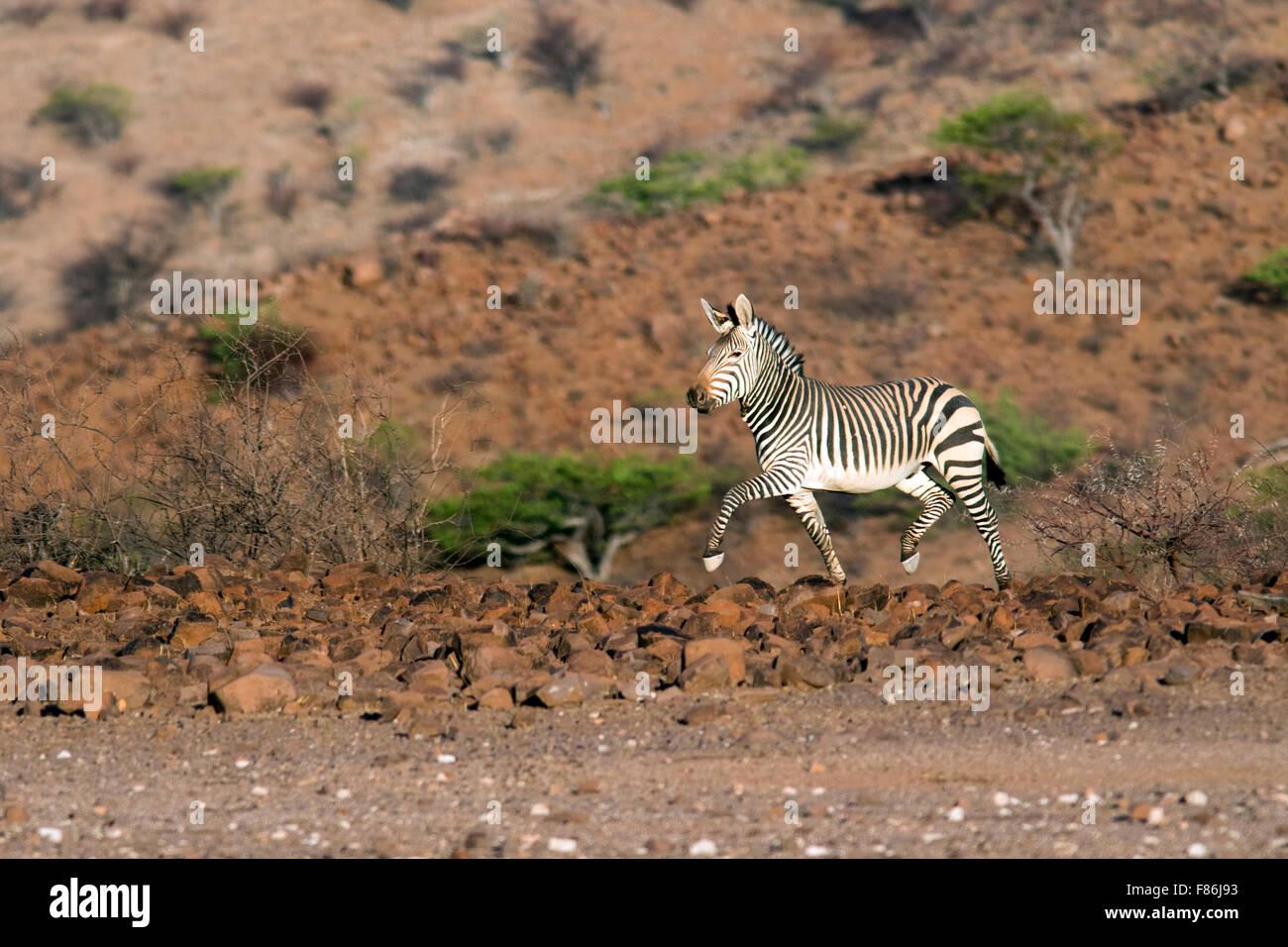 Hartmann's mountain zebra (Equus zebra hartmannae) - Omatendeka Conservancy - Damaraland, Namibia, Africa - Stock Image
