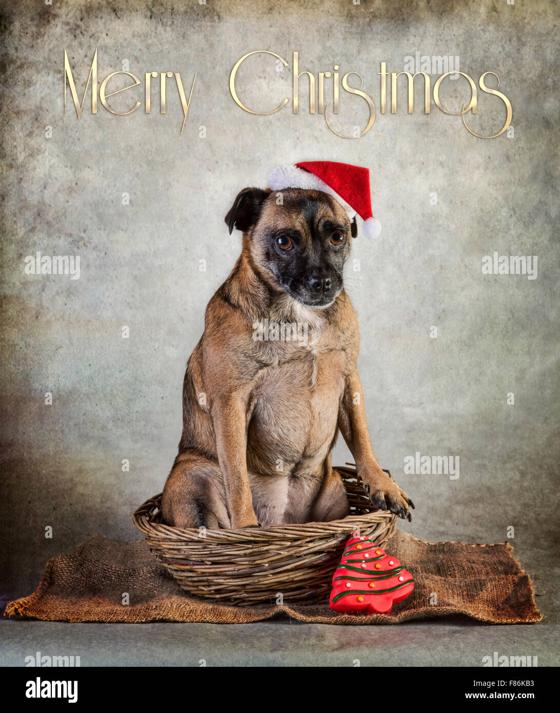 Cute Pug cross dog in Santa hat and scarf Stock Photo  91116007 - Alamy 70aa577675c